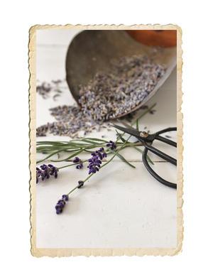 Lavendel i lösvikt